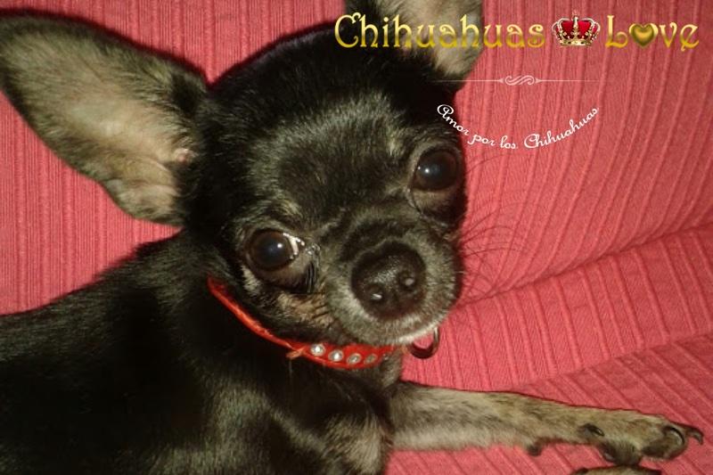 fotos chihuahuas vendidos