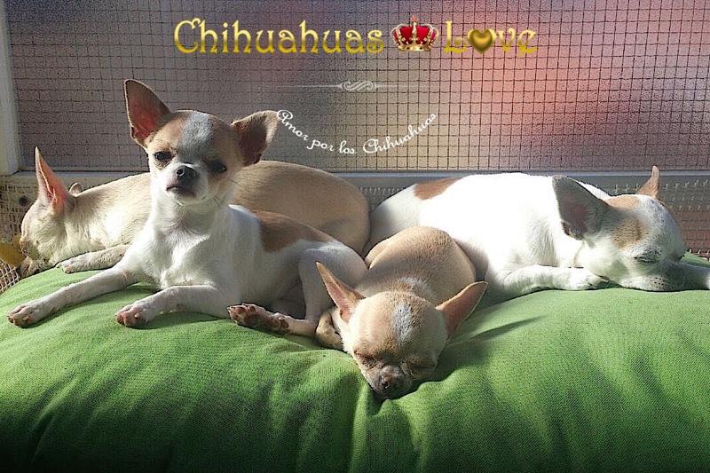fotos chihuahuas clientes