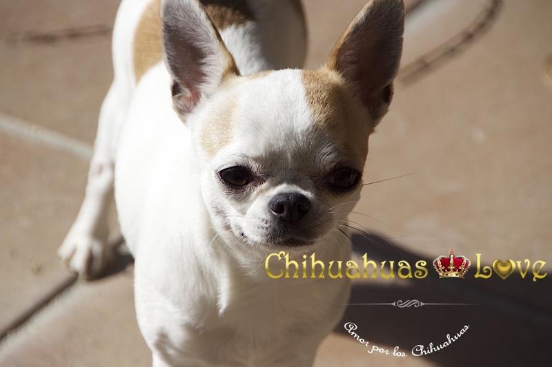 genes perros chihuahua