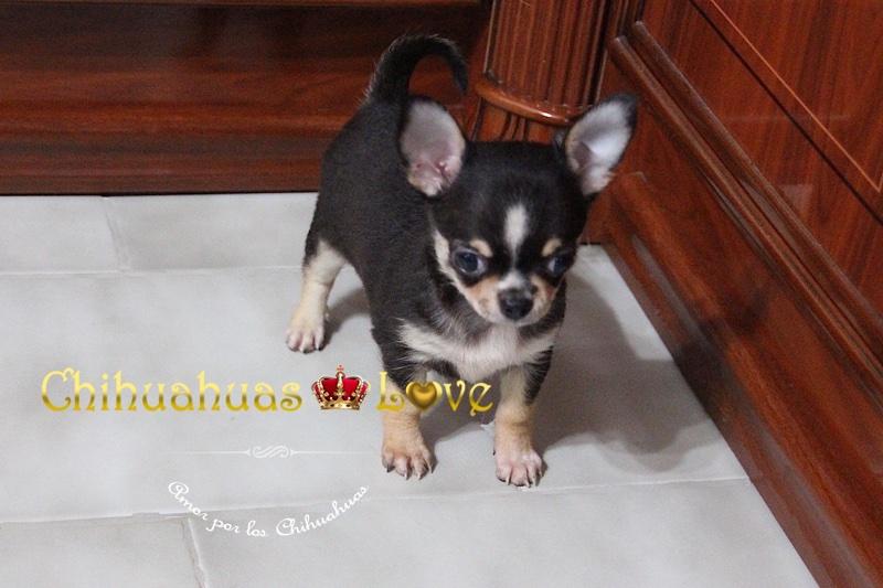 genetica perro chihuahua