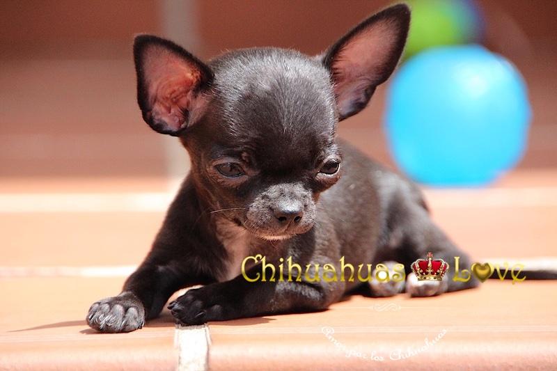 genetica de chihuahuas