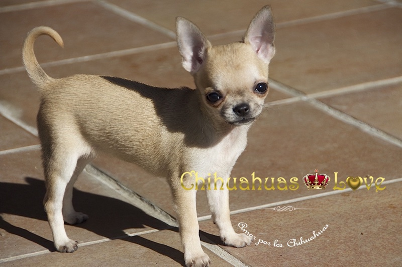 heces chihuahuas