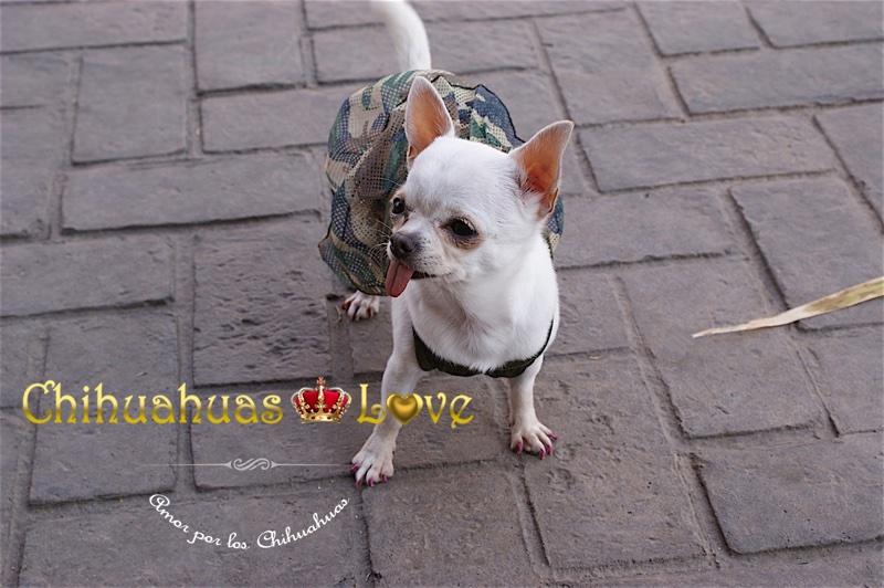 hembra chihuahua blanca enana
