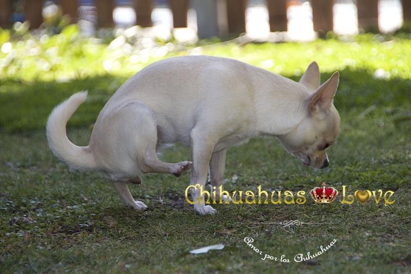 hembra chihuahua marcando territorio