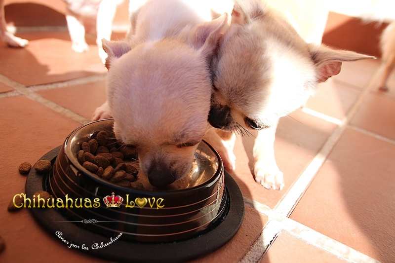 higiene dientes perros chihuahua