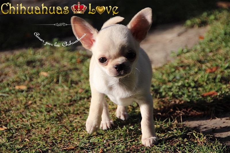 imagenes chihuahuas disponibles