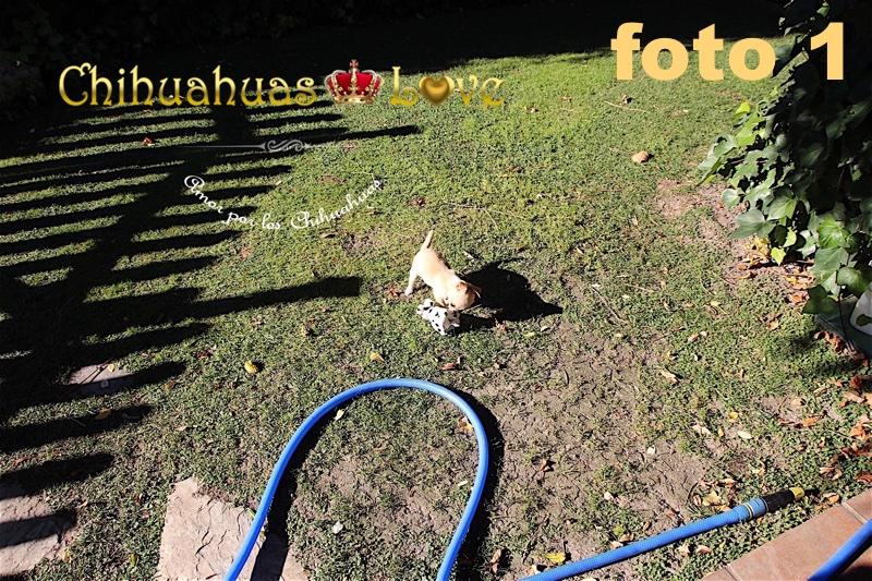 imagenes chihuahuas sin zoom