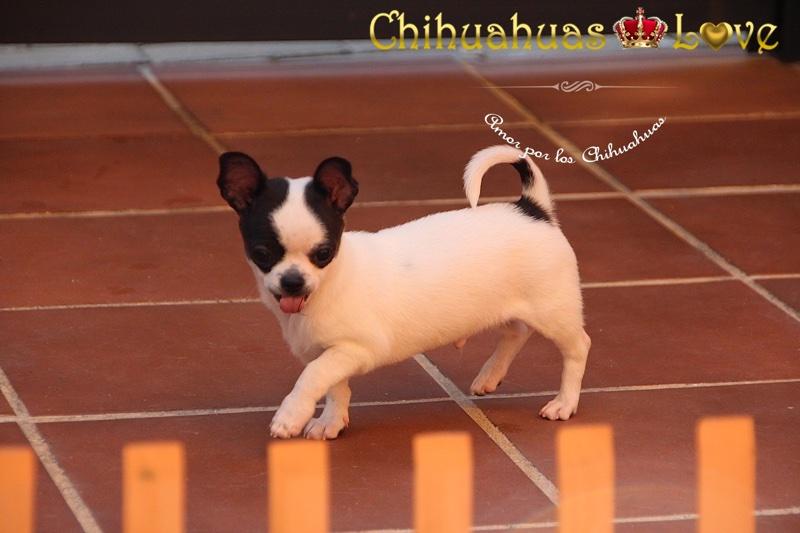 informacion sobre chihuahuas