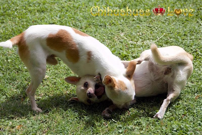 juegos o peleas de chihuahuas
