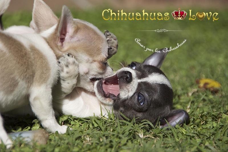 juegos chihuahuas y golpes