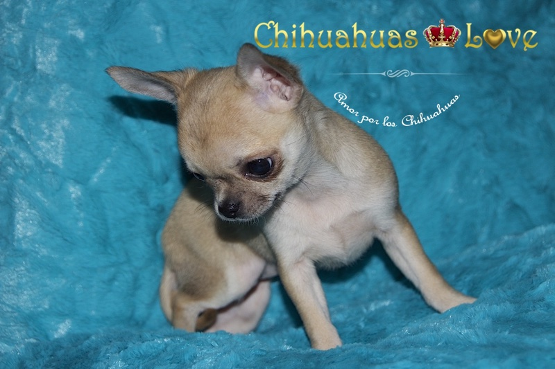 la muda perro chihuahua