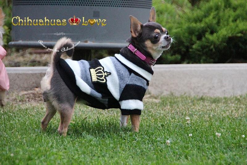 ladridos perros chihuahua