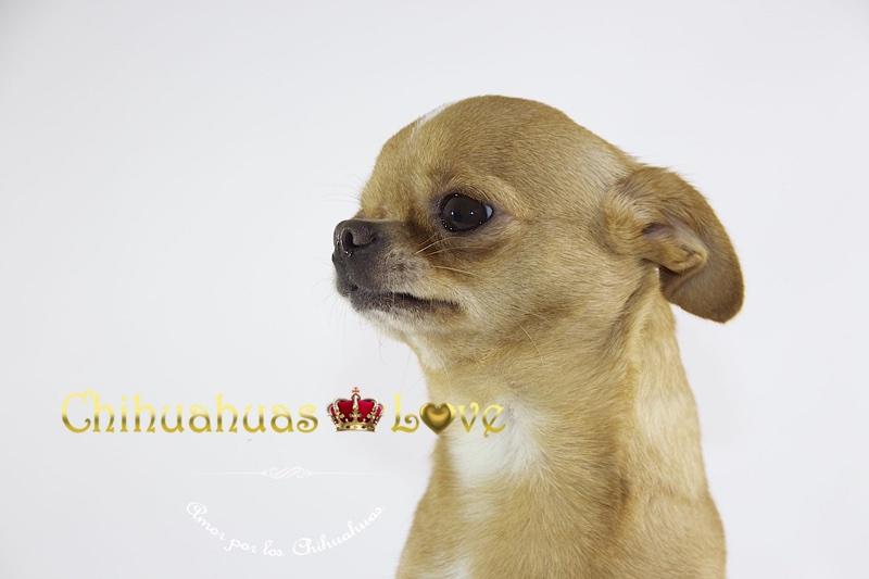 miedo a ruidos en chihuahuas