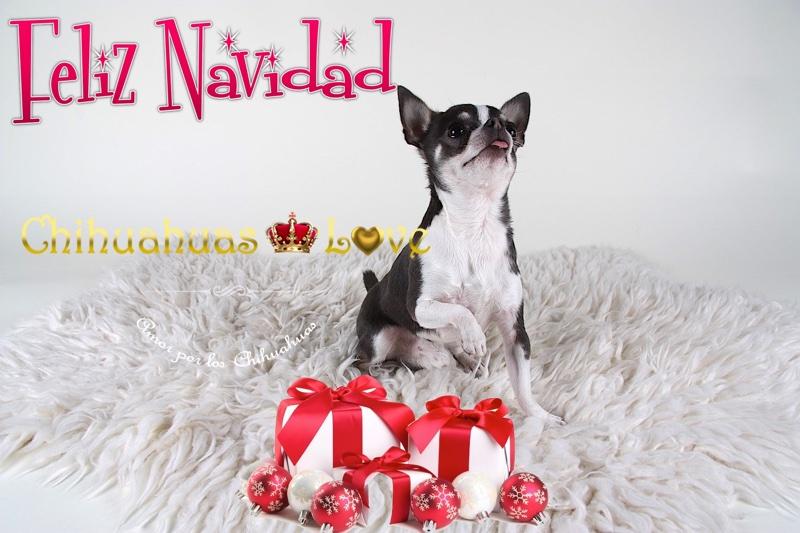 navidad chihuahuas-love