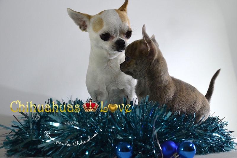 navidad y chihuahuas