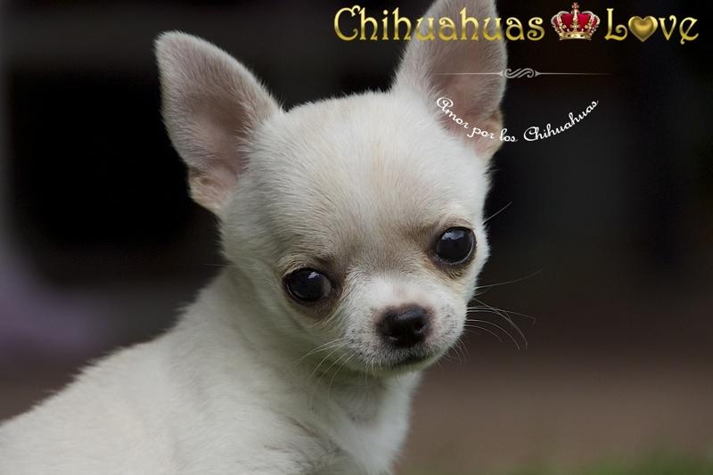 hembra chihuahua