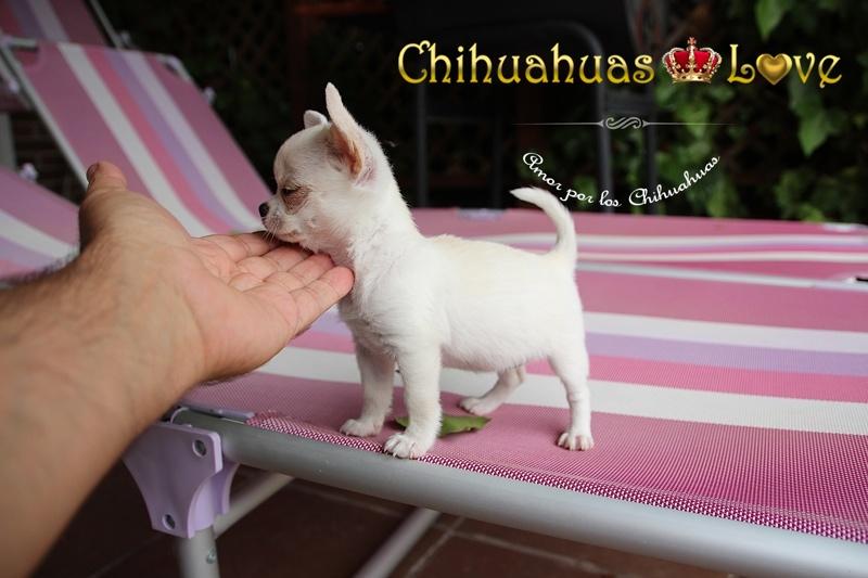 comprar chihuahuas