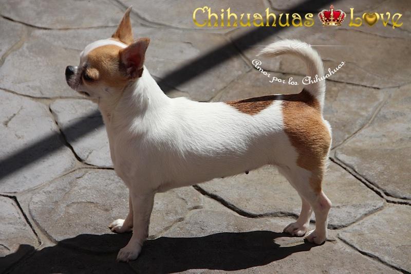 obligaciones dueños chihuahuas