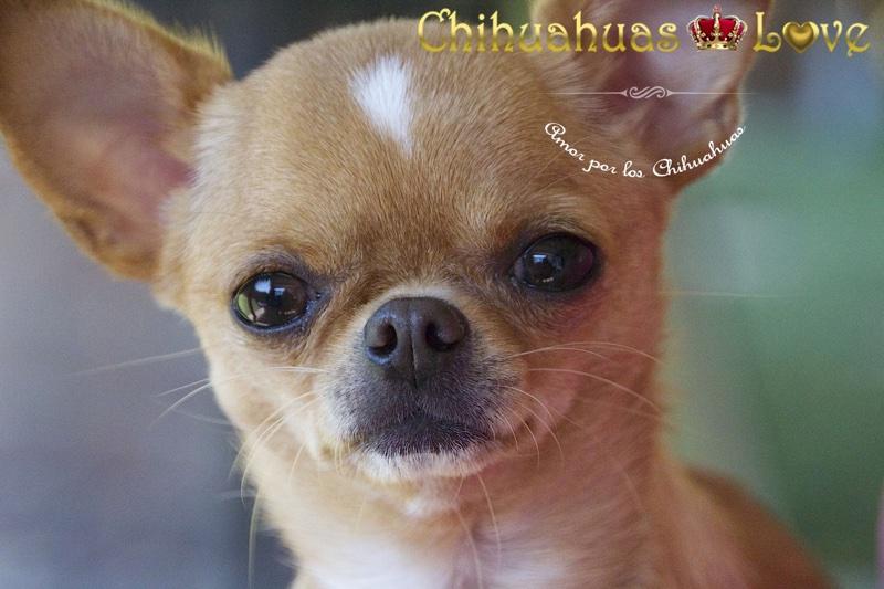opiniones clientes chihuahuas bilbao