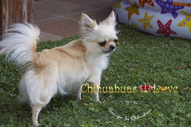 pagar perros chihuahua