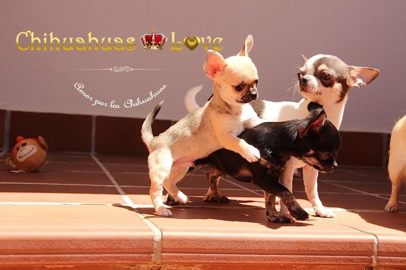 pasion por chihuahuas