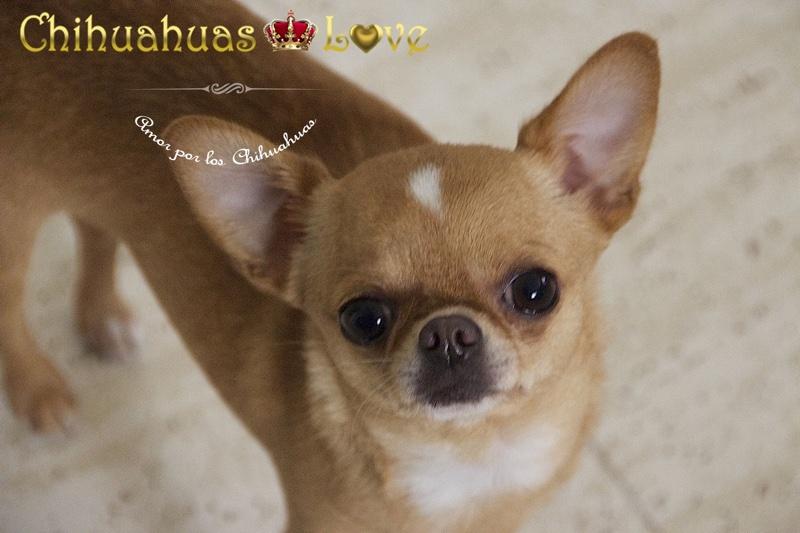 perro chihuahua inteligencia