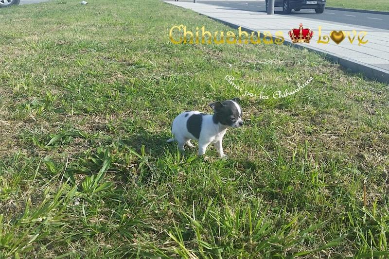 perros chihuahua vendidos