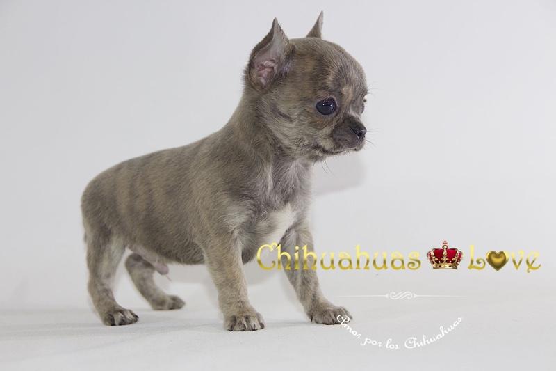 perros chihuahua en facebook