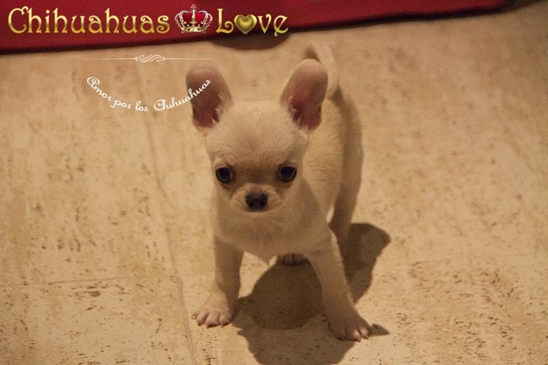 peso cachorros chihuahua