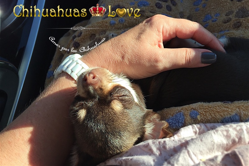 post venta chihuahuas love