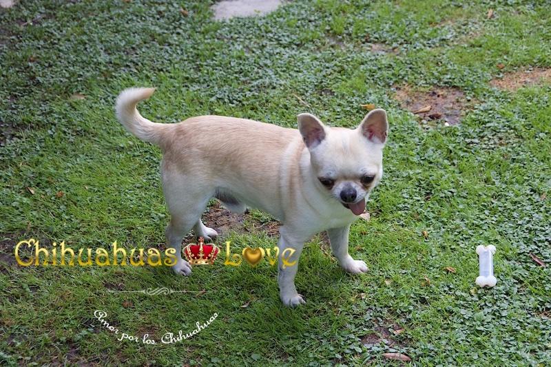potencial perros chihuahua