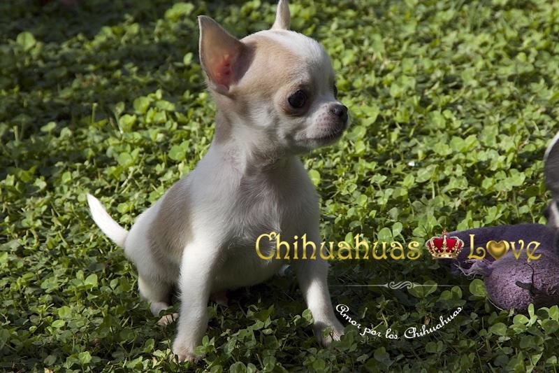 precio chihuahua cachorro