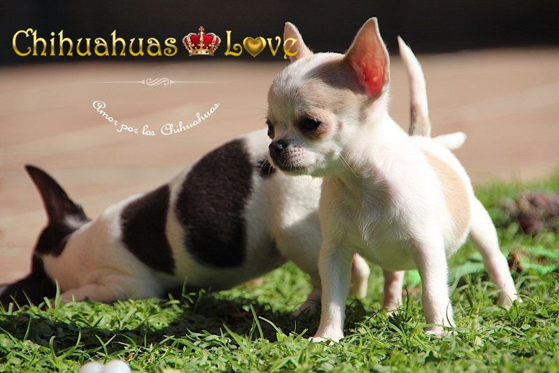 precios cachorros chihuahua
