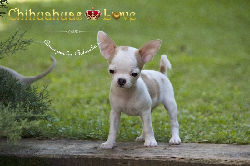 premios y cachorros chihuahua