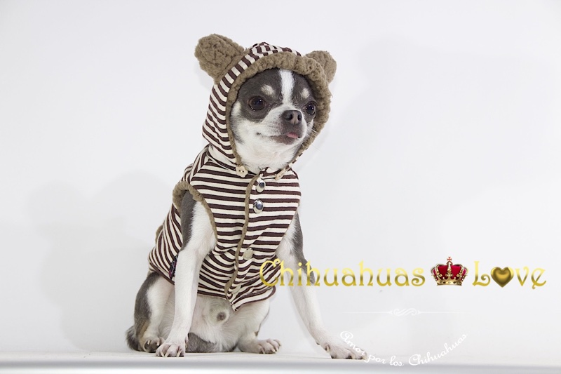 proteger chihuahuas con ropa