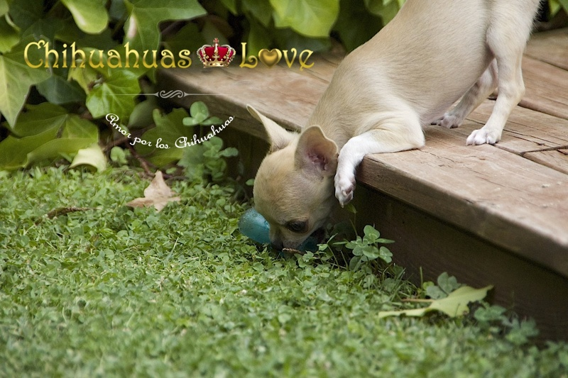 purgarse perro chihuahua