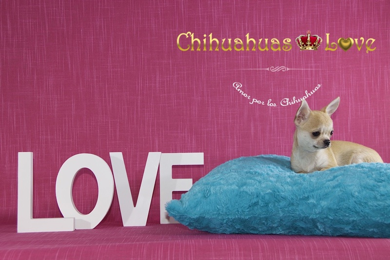 informacion al comprar chihuahua