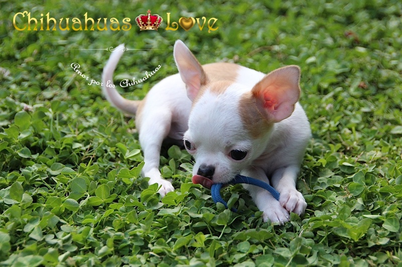 recoger cachorro chihuahua