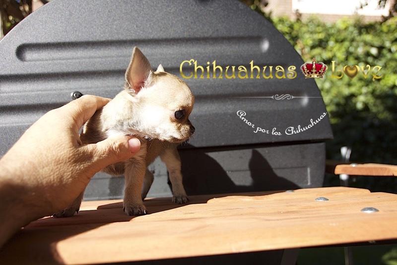 venta chihuahuas en redes sociales