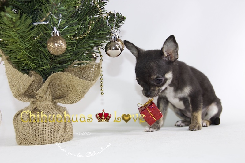 regala perro chihuahua