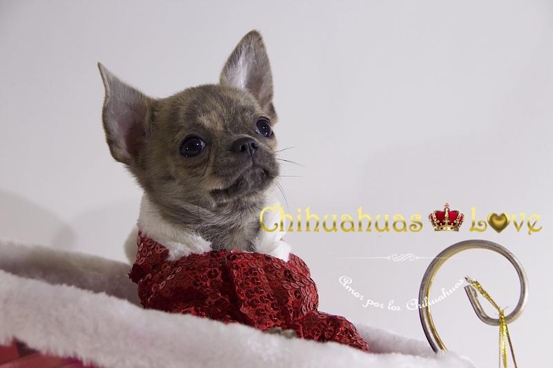 regalar chihuahuas para reyes