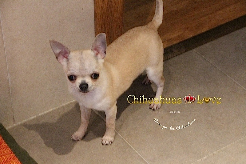 regalo cachorro chihuahua