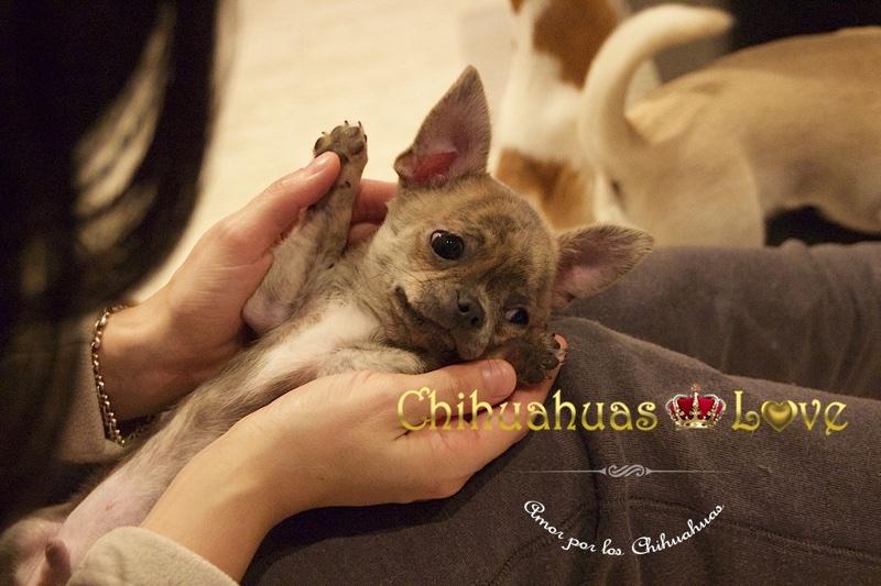 regalos chihuahuas dia reyes