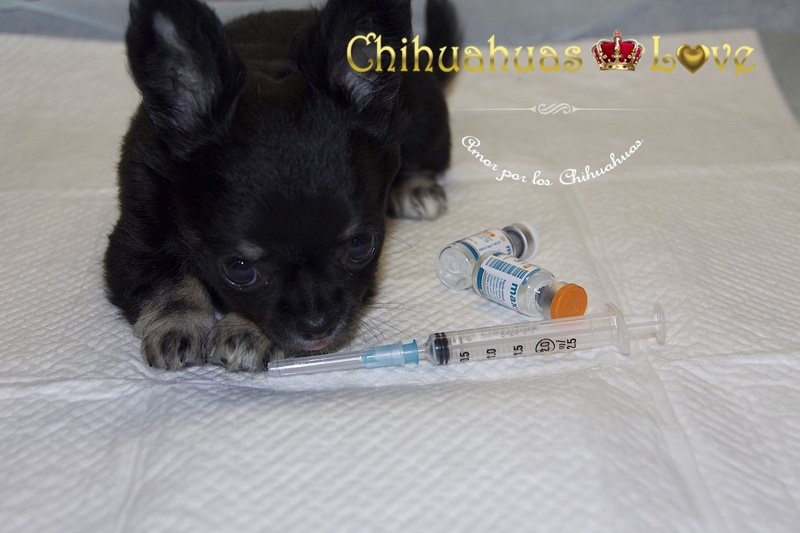 repetir vacunas cachorros chihuahua