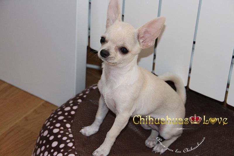 salud perros chihuahua