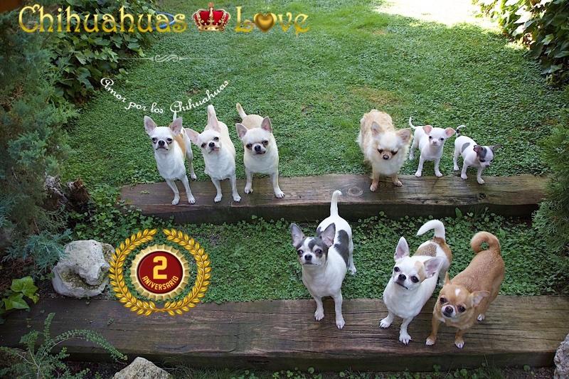 segundo aniversario chihuahuas love