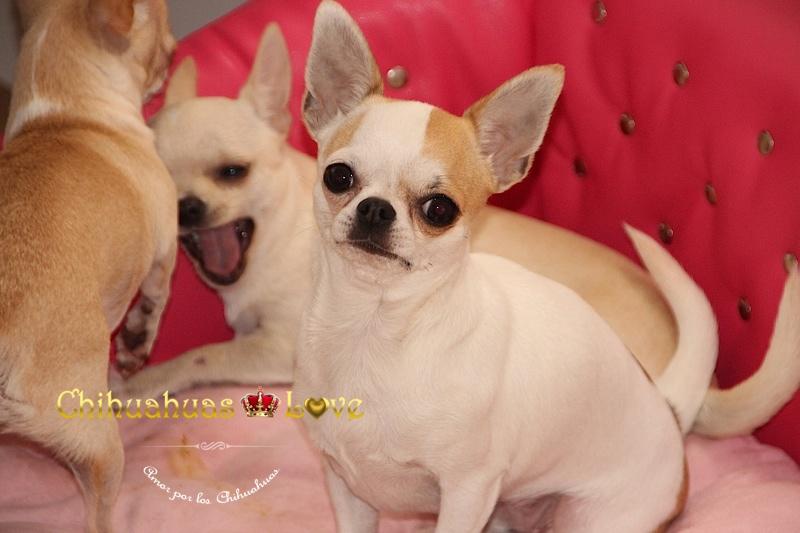 sueño perros chihuahua