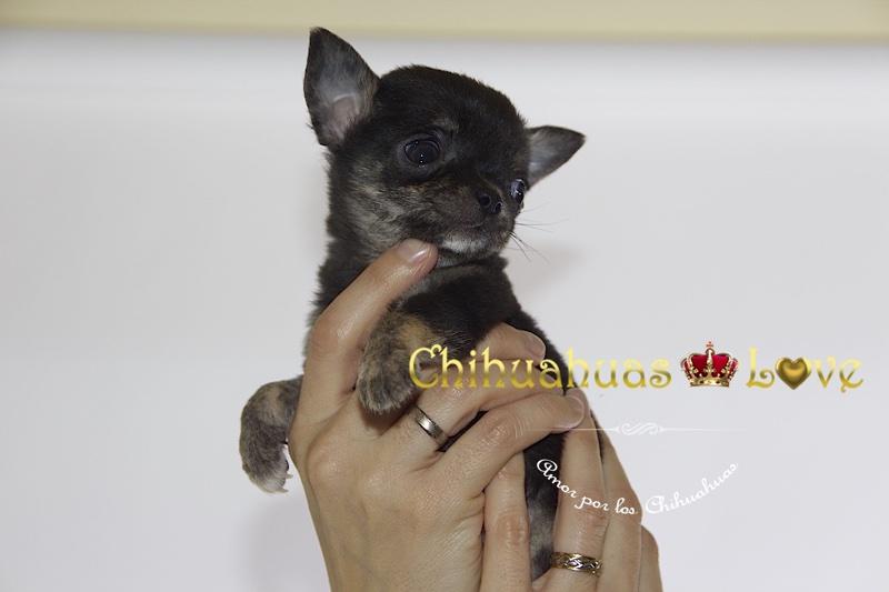 tener deseo comprar chihuahua