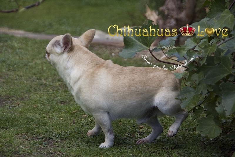 vaciar vegija chihuahua