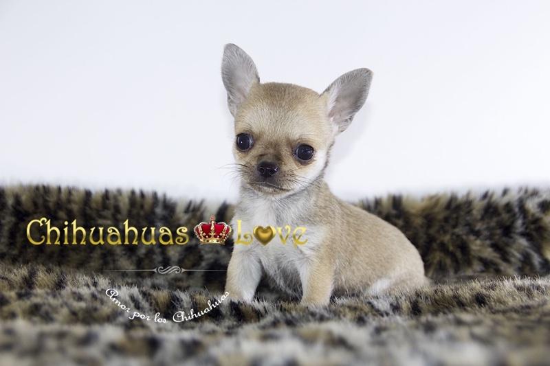 venta cachorros chihuahua contrato